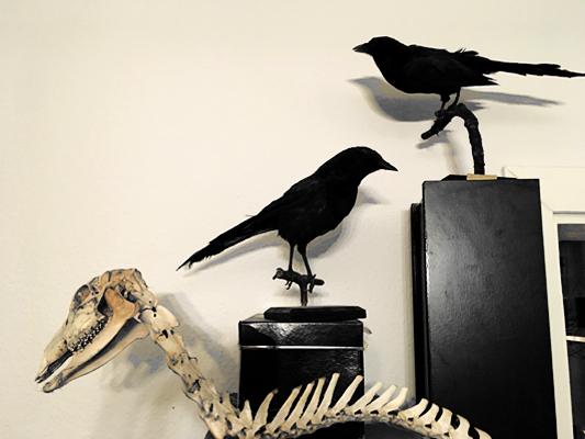 #crows #krähen #raben #reh #deer #skeleton #skelett #bones #spine #rehskelett #annegeorgius #corpusdelicti #principia.discordia