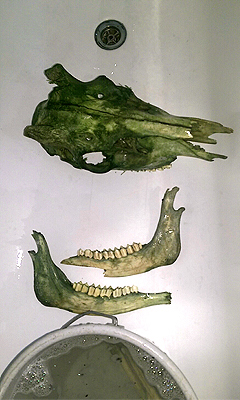 #greenskull #skull #deer #rotwild #rehbock #hirsch #moos #präparat #annegeorgius #corpusdelicti #principia.discordia