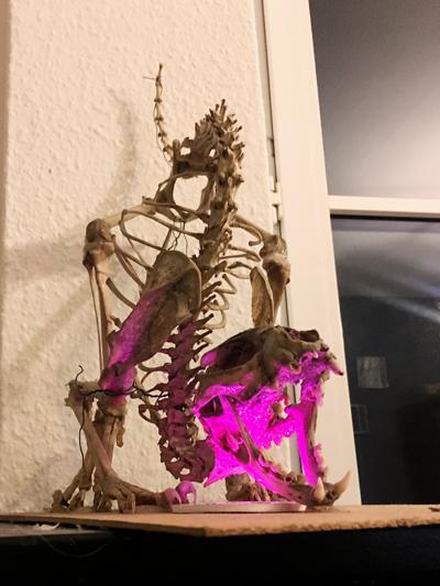 #kitten #feline #catskeleton #cat #scaredkitten #skeleton #präparat #skelett #annegeorgius #corpusdelicti #principia.discordia